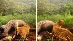 남아공서 포착된 초희귀 '딸기무늬' 표범…유전자 돌연변이로 분홍빛