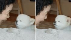 할머니가 소리 질러서 삐진 포메 댕댕이의 현실 반응 (영상)