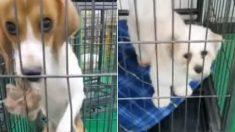 '강제 임신 실험'당하는 강아지들은 살려달라는 눈빛으로 사람을 바라봤다