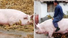 중국서 사람을 등에 태우고 다닐 만큼 커다란 '자이언트 돼지' 등장