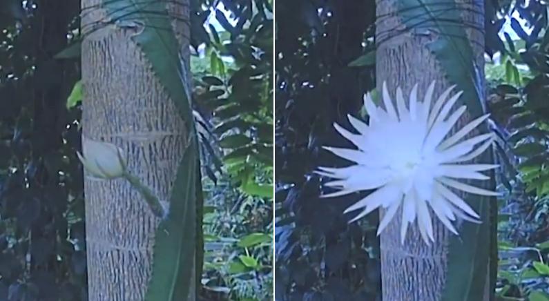 1년에 '딱 하루'만 피는 꽃이 활짝 피는 모습 보고 '행운' 받아 가세요 (영상)