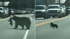 곰돌이 가족 안전하게 길 건너는 동안 끝까지 기다려준 운전자들 (영상)