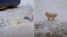 러시아서 집 나갔던 사모예드, 일주일 뒤 북극해 빙하 위에서 발견됐다