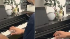 """""""울적할 때 보세요"""" 사람 피아노 연주 맞춰 춤추고 노래하는 '똑똑이' 앵무새 (영상)"""