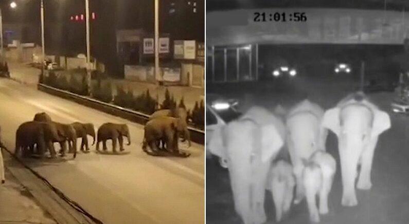 보호구역 나와 400km 넘게 걸어 도시에 온 코끼리 가족의 사연