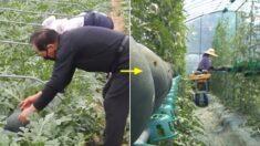 농촌진흥청, 농민들이 허리 쭉 펴고 일할 수 있는 '수박 수직재배장치' 개발했다