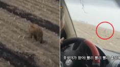 중국, 백두산 호랑이가 민가에 내려와 마을 주민들을 공격하고 있다