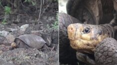 """""""나이는 80~100살"""" 115년 전 멸종된 줄 알았던 거북이가 한 마리 발견됐다"""