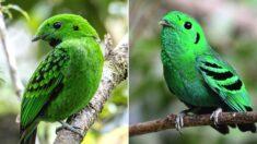 70년 전 멸종한 줄 알았던 전설 속 '에메랄드 새'가 발견됐다