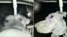 가출해 주인 속 썩이더니, 새벽 3시에 초인종 누르고 카메라 바라보는 '똑똑이' 강아지
