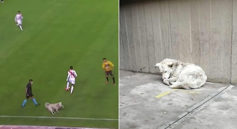 경기장 난입해 축구화 물고 도망쳤던 '떠돌이 개'에게 닥친 운명적인 결말