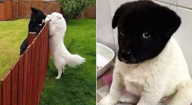 엄마아빠 유전자가 '극과 극'으로 치우쳐 태어난 '반반' 아기 강아지