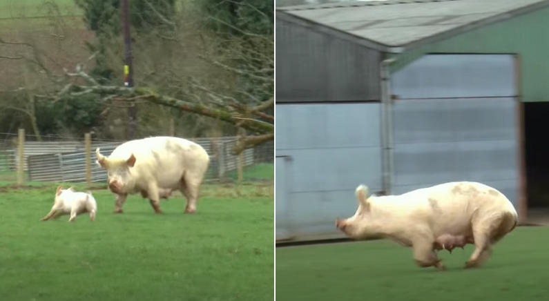 비좁은 우리에서 갇혀 지내다 태어나 처음 바깥세상을 본 엄마 돼지의 반응 (영상)