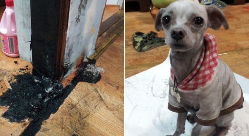 주인이 마트 간 사이 콘센트에 쉬하다 불 낸 '방화범' 강아지의 현실 표정