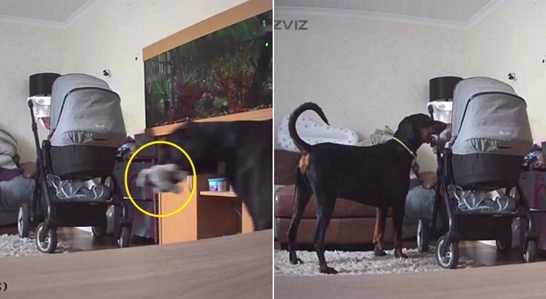 엄마가 분유 타는 사이 아기가 울자 '최애' 장난감 물고 와서 슬쩍 주고 가는 강아지 (영상)