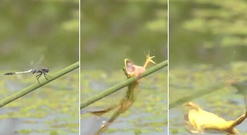 """""""왜 멸종위기인지 알 것 같다""""는 멸종위기 한국 고유종 '금개구리'의 멍충미 돋는 사냥법"""